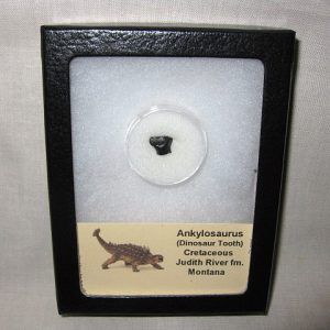 Fossil Cretaceous Age Ankylosaurus Dinosaur Tooth from The Judith River Formation of Montana