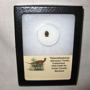 Fossil Cretaceous Age Thescelosaurus Dinosaur Tooth from the Hell Creek Formation of Montana