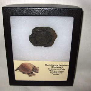 Fossil Pleistocene Age Glyptodont Scute or Armor Plate from Florida