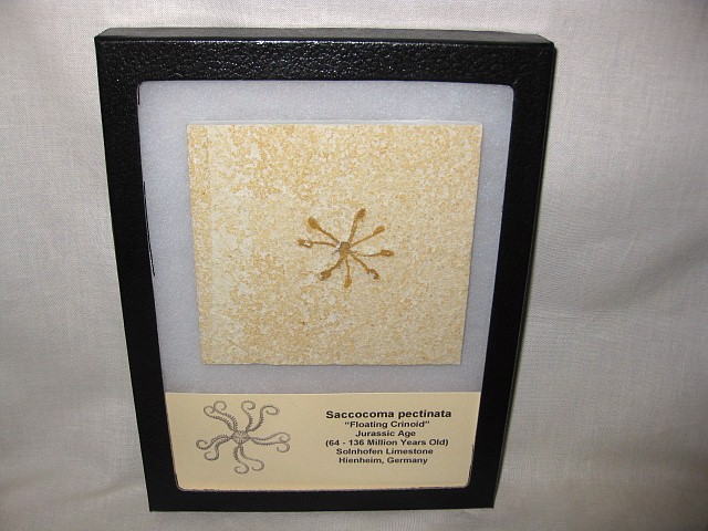 Fossil Jurassic Age Saccocoma pectinata Floating Crinoid from The Solnhofen Limestone of Hienheim Germany