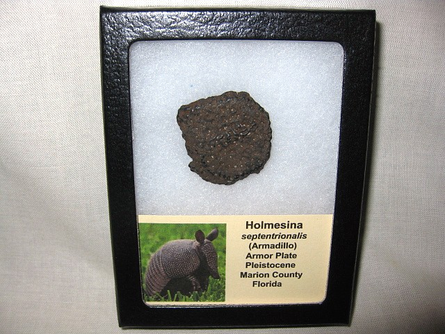 Fossil Pleistocene Age Holmesina Septentrionalis Armadillo Scute or Dermal Plate from Florida