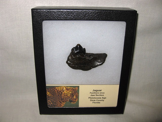 Fossil Pleistocene Age Jaguar Jaw Section from Florida