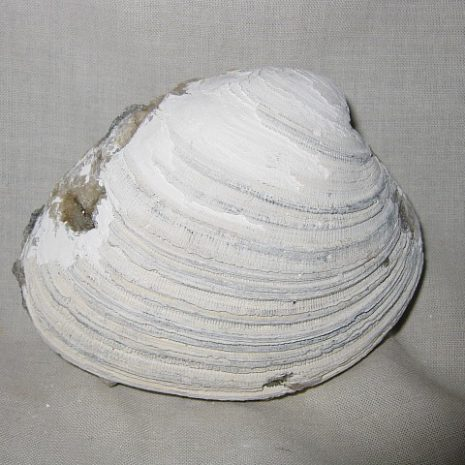 Fossil Pleistocene Age Mercenaria Clam from Ruck's Pit in Okeechobee County Florida