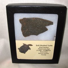 Fossil Pleistocene Age Soft Shell Turtle Shell Pieces from Florida
