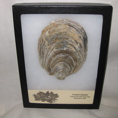 Fossil Paleocene to Pliocene Age Oyster from Maryland