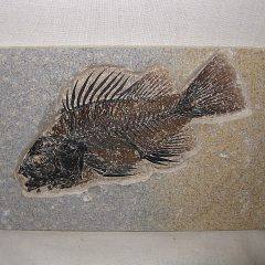 Fossil Eocene Age Priscacara Serrata Fish From The 18 inch Layer of Fossil Lake Wyoming