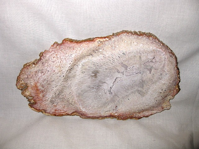 Permian Age Tree Fern Petrified Wood Fossil from Brazil South America