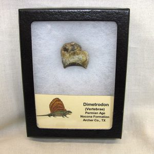 Fossil Permian Age Dimetrodon Reptile Vertebrae from the Nocona Formation of Archer County Texas