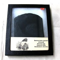 Fossil Devonian Age Bactocrinites jaeckeii Crinoid Plate from Bundenbach Germany