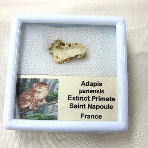 Fossil Eocene Age Adapis Extinct Primate Jaw from France