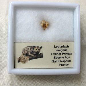 Fossil Eocene Age Leptadapis Extinct Primate Tooth from France