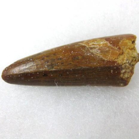 Fossil Cretaceous Age Spinosaurus Dinosaur Tooth from North Africa