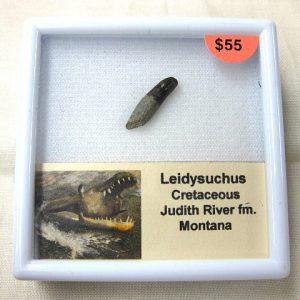 Fossil Cretaceous Age Leidysuchus Alligatorid Reptile Tooth from Montana