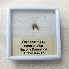 Fossil Orthacanthus Permian Age Shark Tooth from Texas