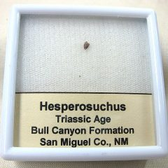 Fossil Triassic Age Hesperosuchus Crocodylomorph Reptile Tooth from New Mexico