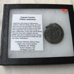 Famous Fossil Jurassic Whitby Snakestone from The United Kingdom