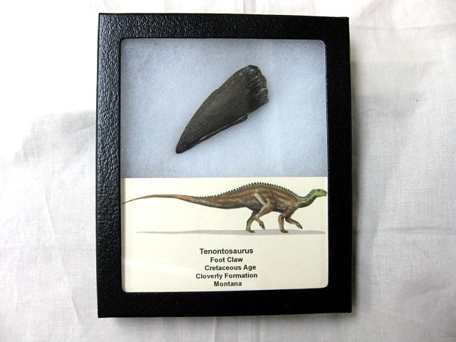 Fossil Cretaceous Age Tenontosaurus Dinosaur Claw from the Cloverly Formation of Montana