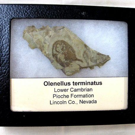 Fossil Cambrian Age Olenellus Trilobite from The Pioche Formation of Nevada