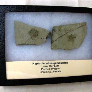 Fossil Cambrian Age Nephrolenellus Trilobite from The Pioche Formation of Nevada