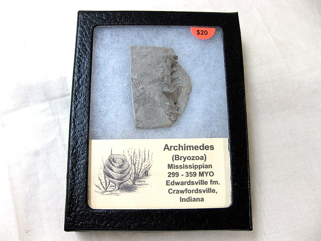 Fossil Mississippian Age Archimedes Bryozoa from Indiana