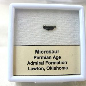 Fossil Permian Age Microsaur Amphibian Jaw from Oklahoma