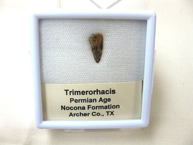 Fossil Permian Age Trimerorhacis Amphibian Claw from Texas