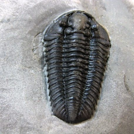 Fossil Silurian Age Calymene Niagarensis Trilobite from The Rochester Shale of New York