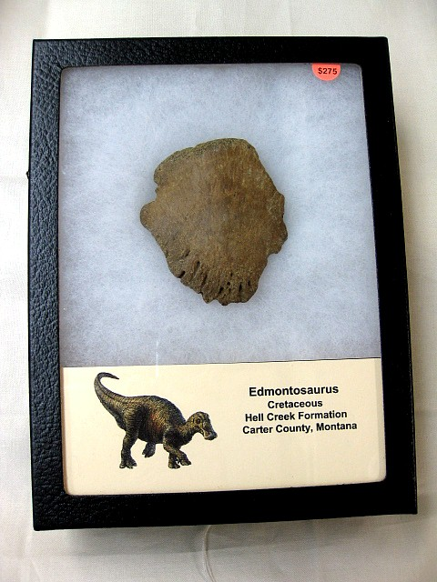 Fossil Cretaceous Age Edmontosaurus Dinosaur Claw/Ungual from The Hell Creek Formation of Montana