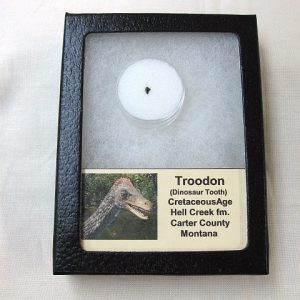 Fossil Cretaceous Age Troodon formosus Dinosaur Tooth from Montana