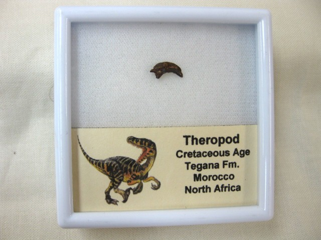 Fossil Cretaceous Age Small Dinosaur Claw from The Tegana Formation of Morocco North Africa