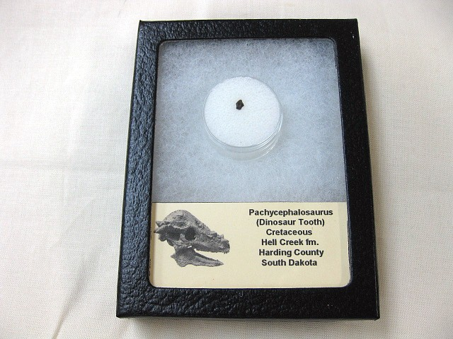 Fossil Cretaceous Age Pachycephalosaurus Dinosaur Tooth from South Dakota