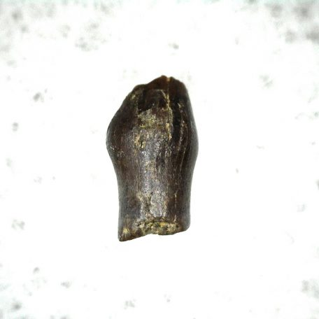 Fossil Cretaceous Age Parkosaurus Dinosaur Tooth from The Hell Creek Formation of South Dakota