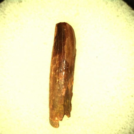 Fossil Jurassic~Cretaceous Unidentified Sauropod Tooth from the Kem Kem Region of North Africa