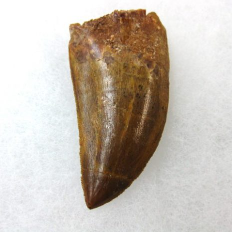 Fossil Cretaceous Age Carcharodontosaurus Dinosaur Teeth from North Africa