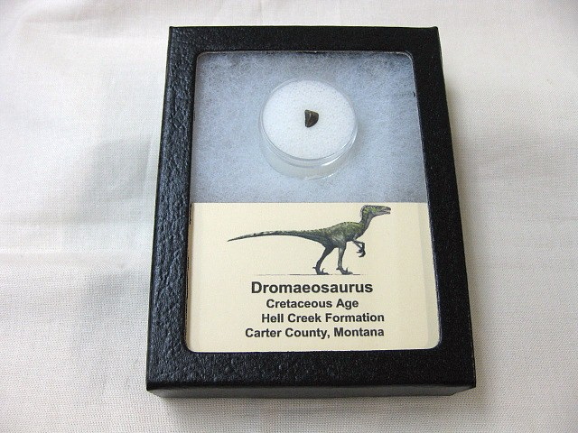 Fossil Cretaceous Age Dromaeosaurus Dinosaur Tooth from Montana