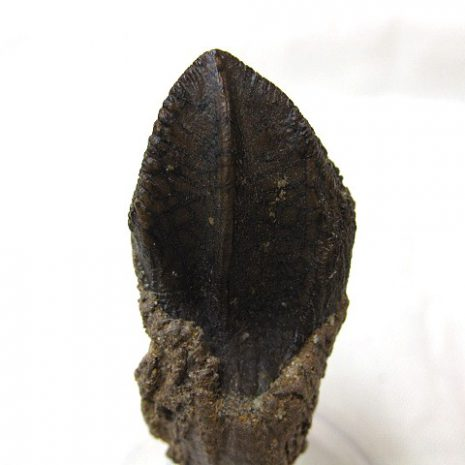 Cretaceous Age Triceratops Dinosaur Tooth from the Hell Creek Formation of Montana