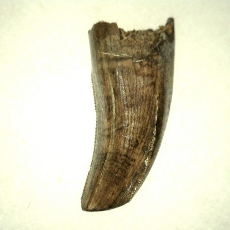 Fossil Cretaceous Age Nanotyrannus Dinosaur Tooth from the Hell Creek Formation of South Dakota