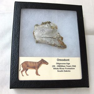Fossil Oligocene Age Oreodont Mammal Jaw Section from South Dakota