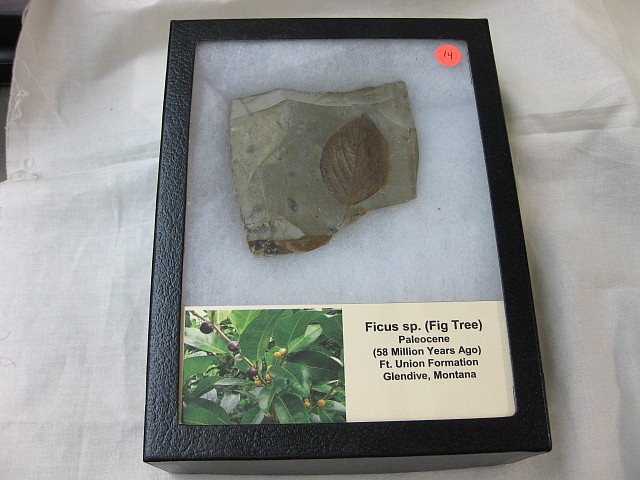 Fossil Paleocene Leaf from the Ft. Union Formation of Montana