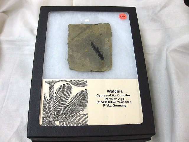 Fossil Permian Age Walchia Cypress like Connifer from Pfalz Germany