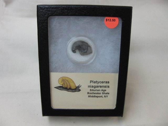 Fossil Silurian Age Platyceras Gastropod from New York