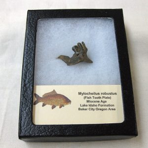 Fossil Miocene Age Mylocheilus robustus Fish Tooth Plate from Oregon