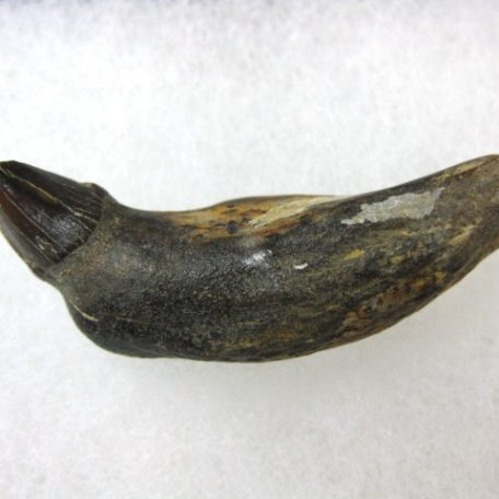 Fossil Miocene Age Allodesmus kerninsis Pinniped Tooth from Shark Tooth Hill in Bakersfield California