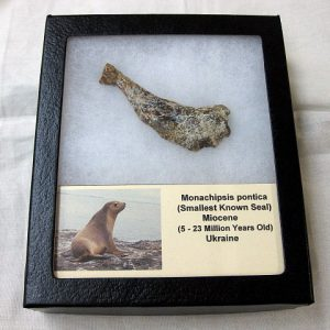 Fossil Miocene Age Monachipsis pontica (Smallest Known Seal) Bone from Ukraine