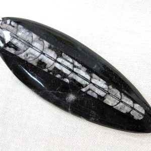 Fossil Ordovician Polished Orthoceras from Morocco North Africa