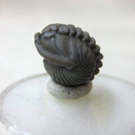 "Fossil Ordovician Age Flexicalymene ""Roller"" Trilobite from Ohio"