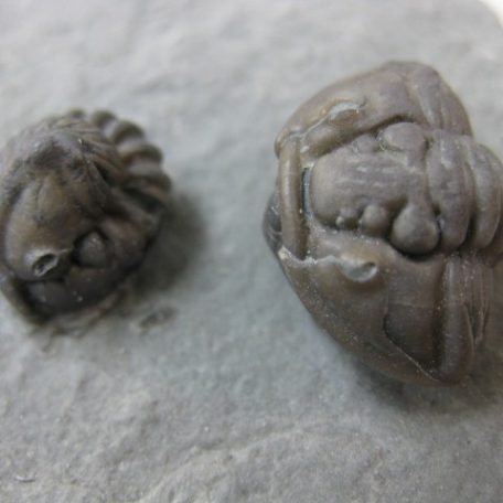 """Fossil Ordovician Age Flexicalymene """"Roller"""" Trilobite from Ohio"""