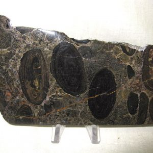 Fossil Cambrian Age Oncolytic Stromatolite from California