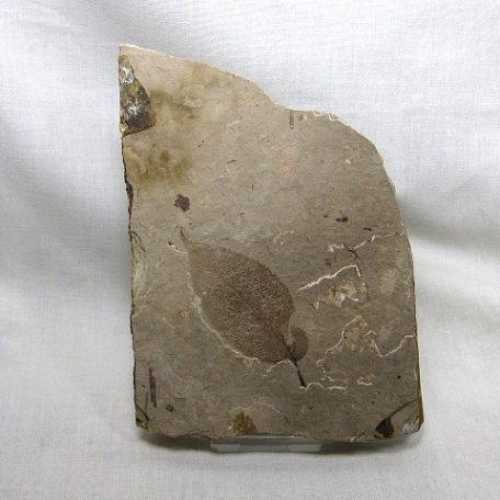 Fossil Eocene Age Leaf from British Columbia Canada