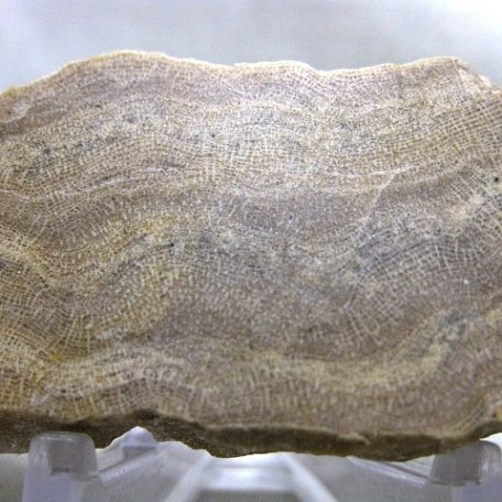Fossil Devonian Age Actinostroma expansum Sponge from Iowa